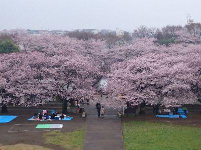 桜2016@四季の森公園
